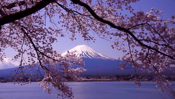 Blooming Cherry Blossoms Japan Stock Video Footage Dissolve