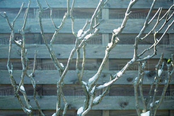 Branches of tree dappled with snow Royalty-free stock photo