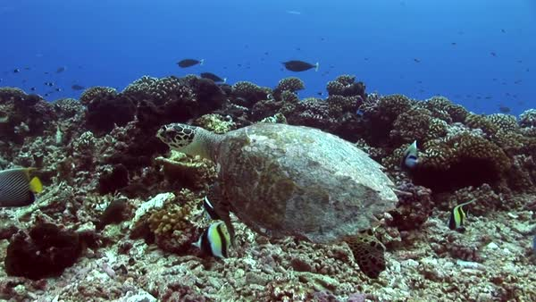 Hawksbill turtle on a tropical reef  Royalty-free stock video