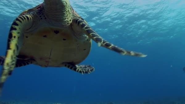 Hawksbill turtle on a tropical reef, curious biting the camera lens Royalty-free stock video
