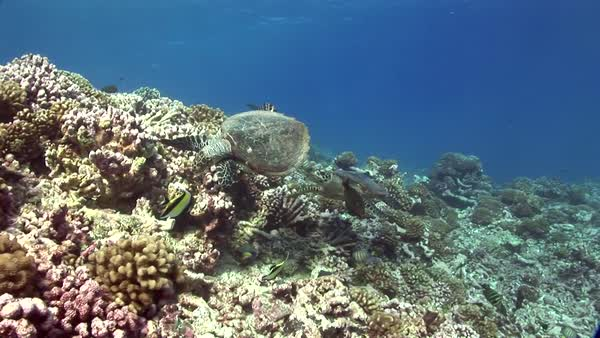 Hawksbill turtles on a tropical reef searching for food Royalty-free stock video