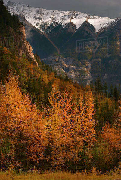 Aspen trees and snow-capped mountains in autumn Royalty-free stock photo