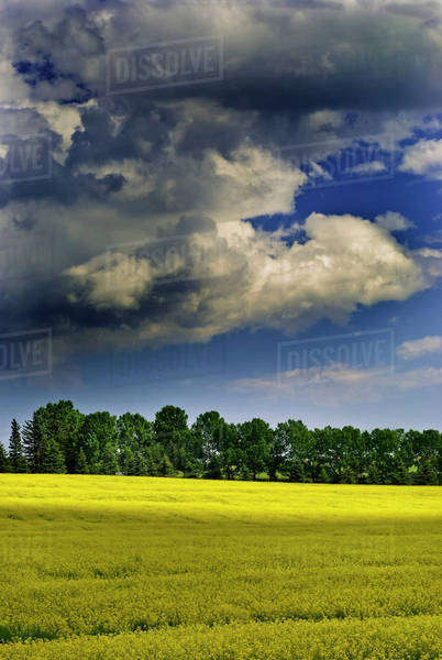 Storm clouds gathering over a yellow canola field Royalty-free stock photo