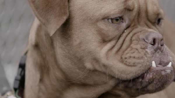 Close-up shot of a Bordeaux Mastiff Royalty-free stock video