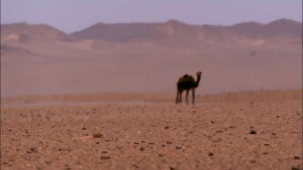 Static shot of a camel walking in Sahara Desert, Africa Rights-managed stock video