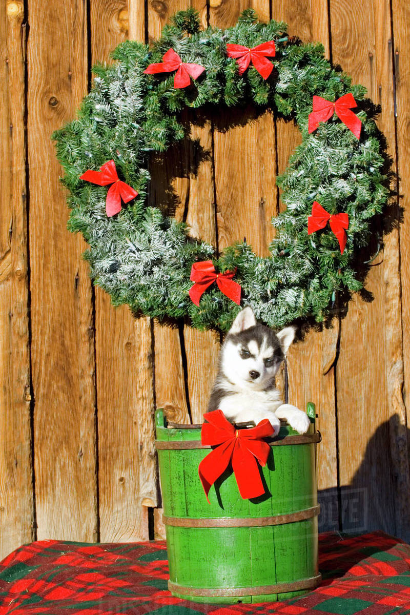siberian husky puppy in barrel under holiday wreath on old barn colorado winter - Husky Christmas Decoration