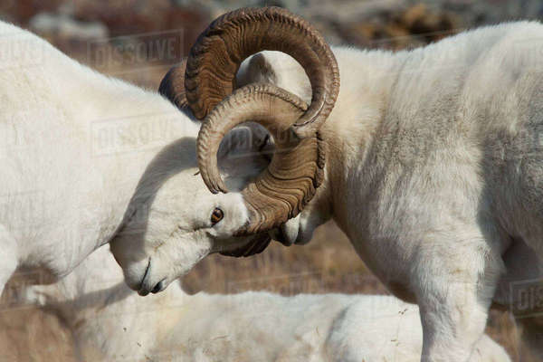 Two Dall Sheep Rams Lock Horns While Fighting For Dominance During The Autumn Rut In Denali National Park And Preserve, Interior Alaska, Autumn Rights-managed stock photo
