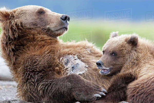 Brown Bear Sow Nursing Her Spring Cub In Hallo Bay, Katmai National Park, Southwest Alaska, Summer Rights-managed stock photo