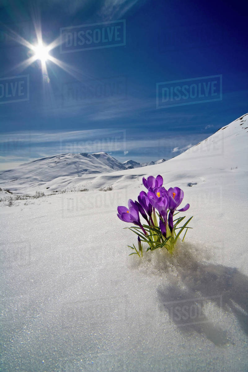 Crocus Flower Peeking Up Through The Snow In Spring. Southcentral Alaska. Rights-managed stock photo