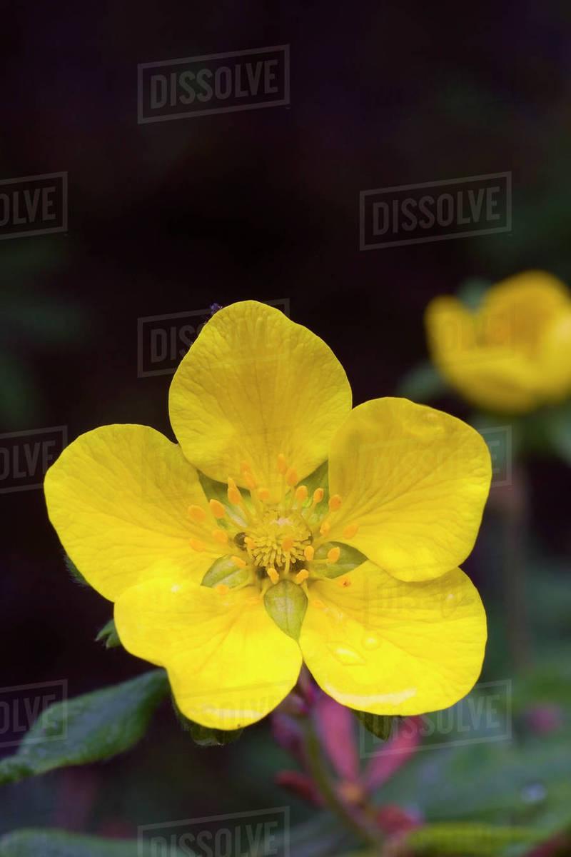 Yellow Tundra Rose Blooms Near The Teklanika Campground At Denali