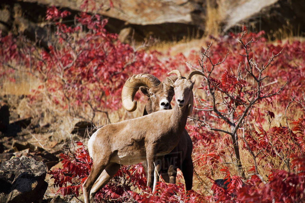 Bighorn Sheep Ram And Ewe Standing In Front Of Fall Colors, Swakane ...