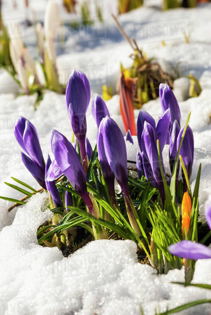 White And Purple Crocus Flowers Blooming Through Snow In Spring