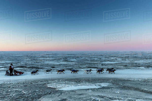 Aliy Zirkle runs on the trail along the shore of the Bering Sea just a few miles before the finish  in Nome for a third place finish during the 2016 Iditarod, Alaska Rights-managed stock photo