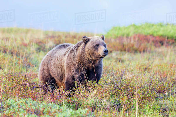 A grizzly bear stands in colorful fall tundra in Denali National Park, Interior Alaska , Fall, USA. Rights-managed stock photo