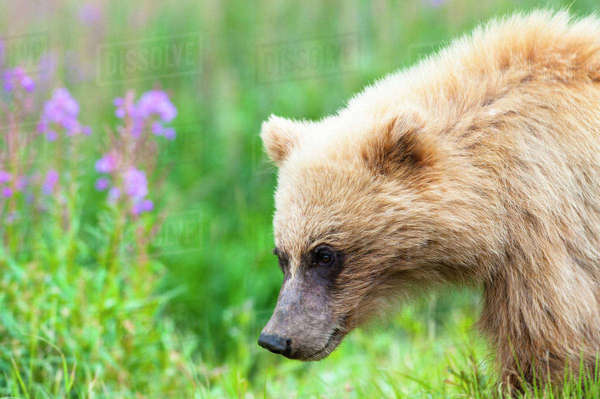 A close up of a grizzly bear cub on the Park Road on a early sunny summer morning at Sable Pass in Denali National Park and Preserve. Rights-managed stock photo