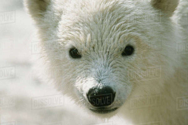 Close Up Portrait Of Polar Bear Cub Alaska Winter Captive Rights-managed stock photo