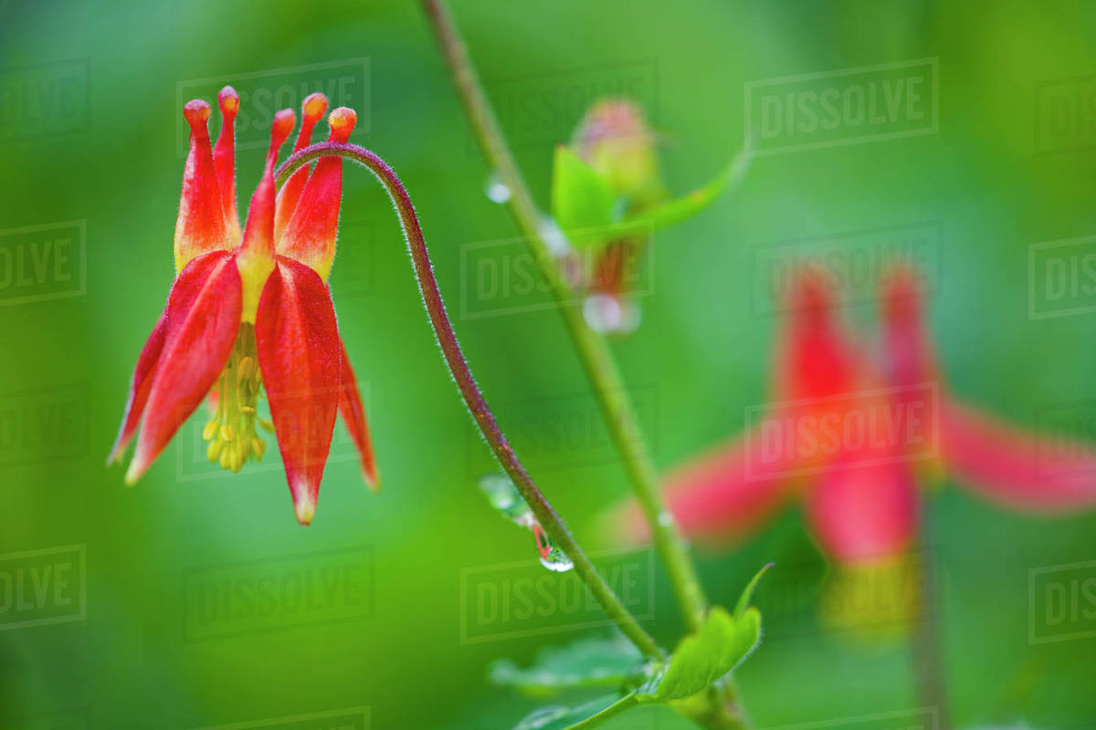Close Up Of Western Columbine In Chugach State Park Southcentral