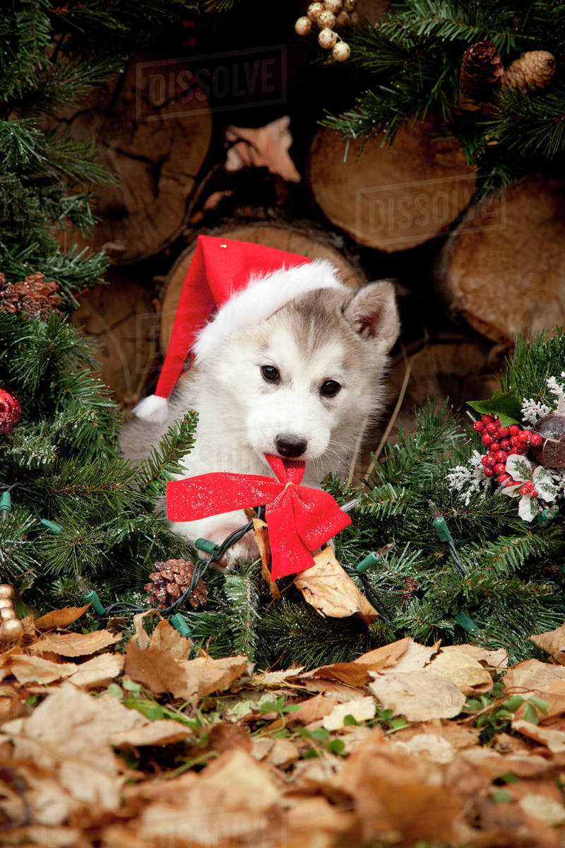 siberian husky puppy wearing a santa hat sits inside a christmas wreath outdoors alaska autumn