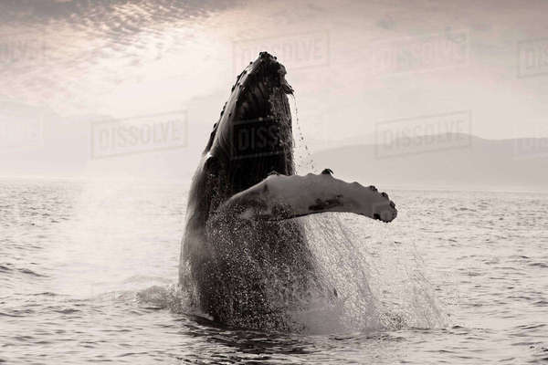 Humpback Whale Breaching with Coast Mountains Background Inside Passage Southeast Alaska Summmer Rights-managed stock photo