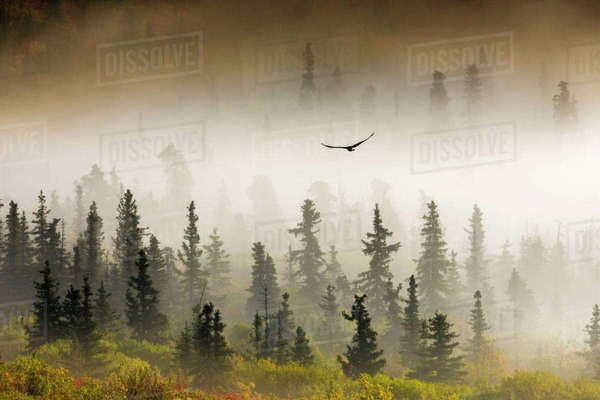 Raven Flys Through Spruce Trees In The Morning Fog, Denali National Park, Interior, Alaska. Rights-managed stock photo