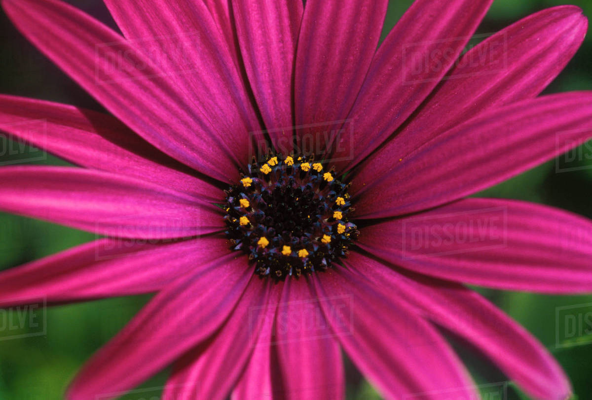 Close Up Of Bright Purple Daisy With Yellow In Center Stock Photo