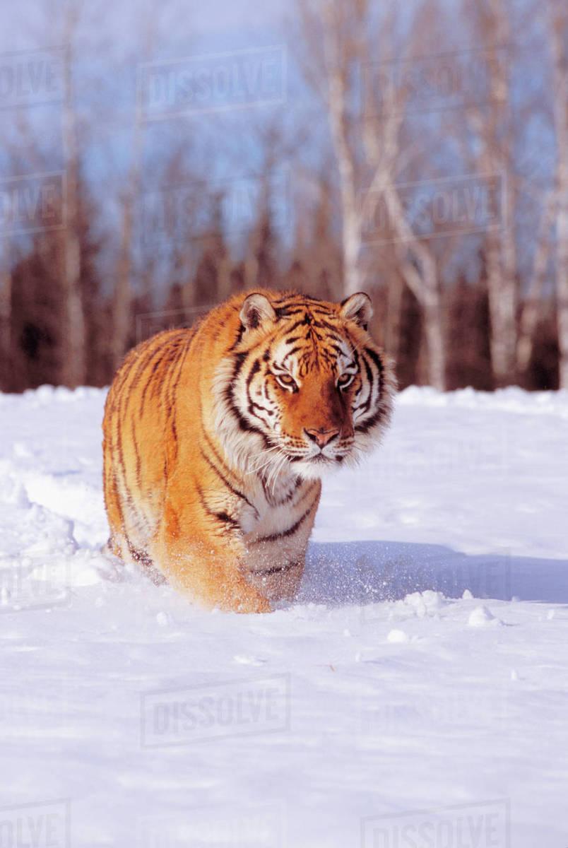 Alaska, Siberian Tiger (Panthera Tigris Altaica) Charging Through Winter  Snow  stock photo