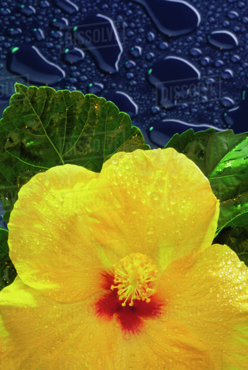 Hawaii Yellow Hibiscus Flower On Blue Background Water Drops
