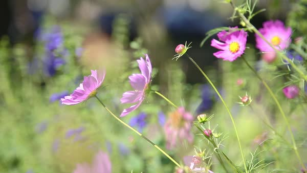 Cosmos flowers swaying in the breeze Royalty-free stock video