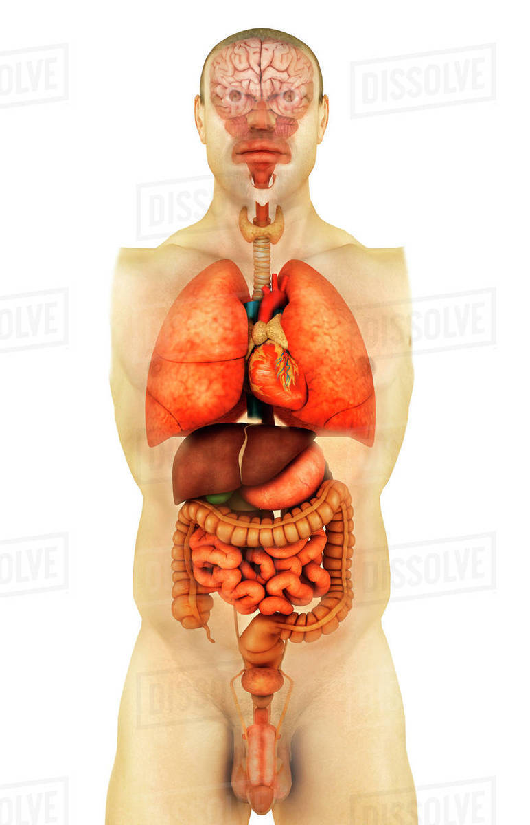 Anatomy Of Human Body Showing Whole Organs Front View Stock