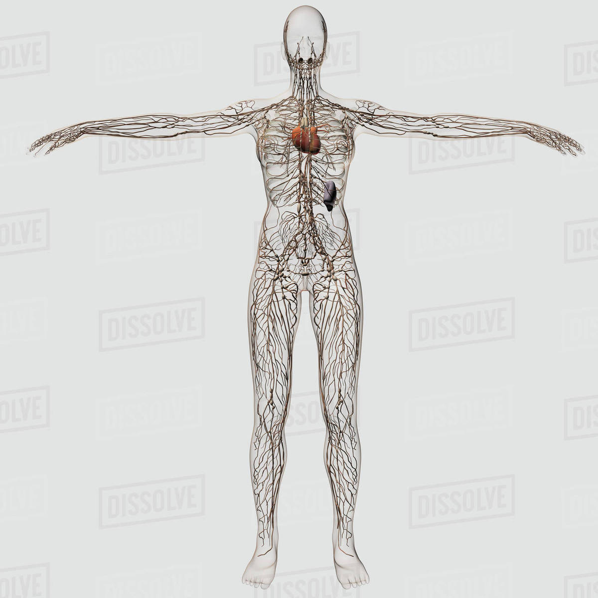 Medical Illustration Of Female Lymphatic System With Heart Stock