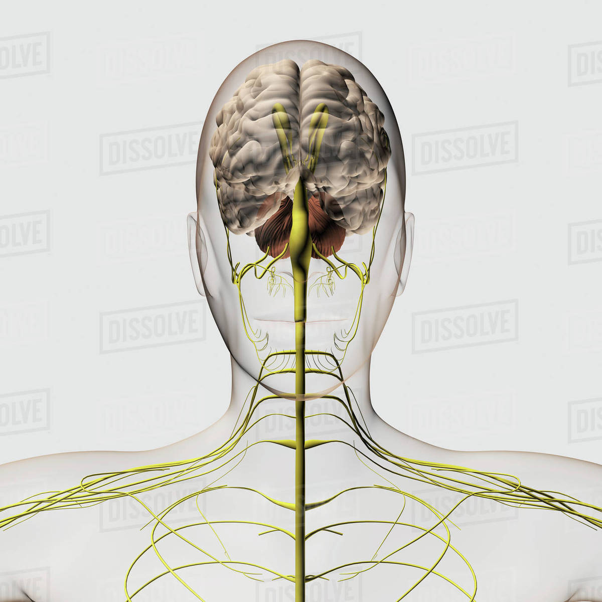 Medical Illustration Of The Human Nervous System And Brain Stock
