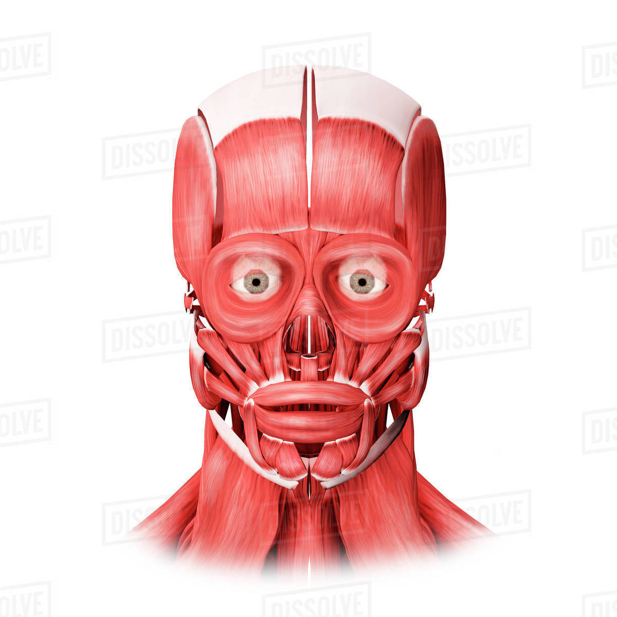 Medical Illustration Of Male Facial Muscles Front View Stock