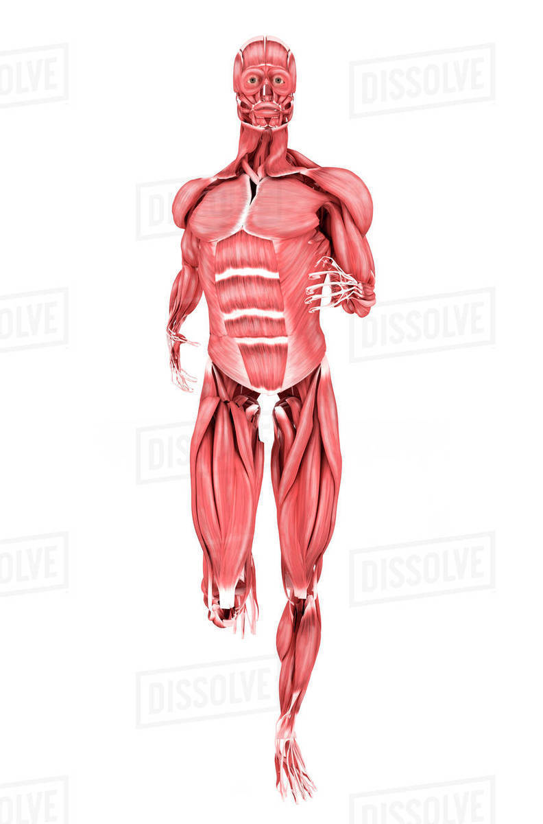 Medical illustration of male muscles running, front view. - Stock ...
