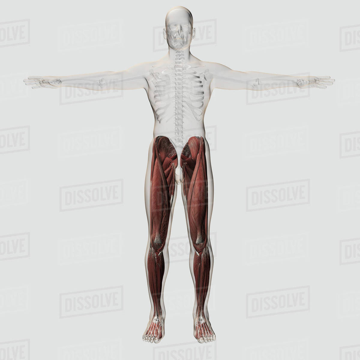 Anatomy Of Male Muscles In Upper Body Posterior View Stock Photo