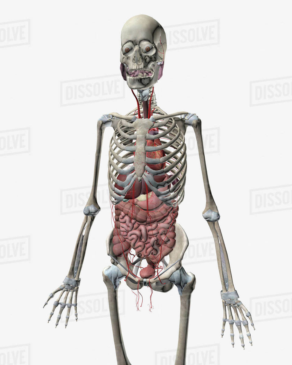 Transparent View Of Human Body Showing Kidney And Intestines