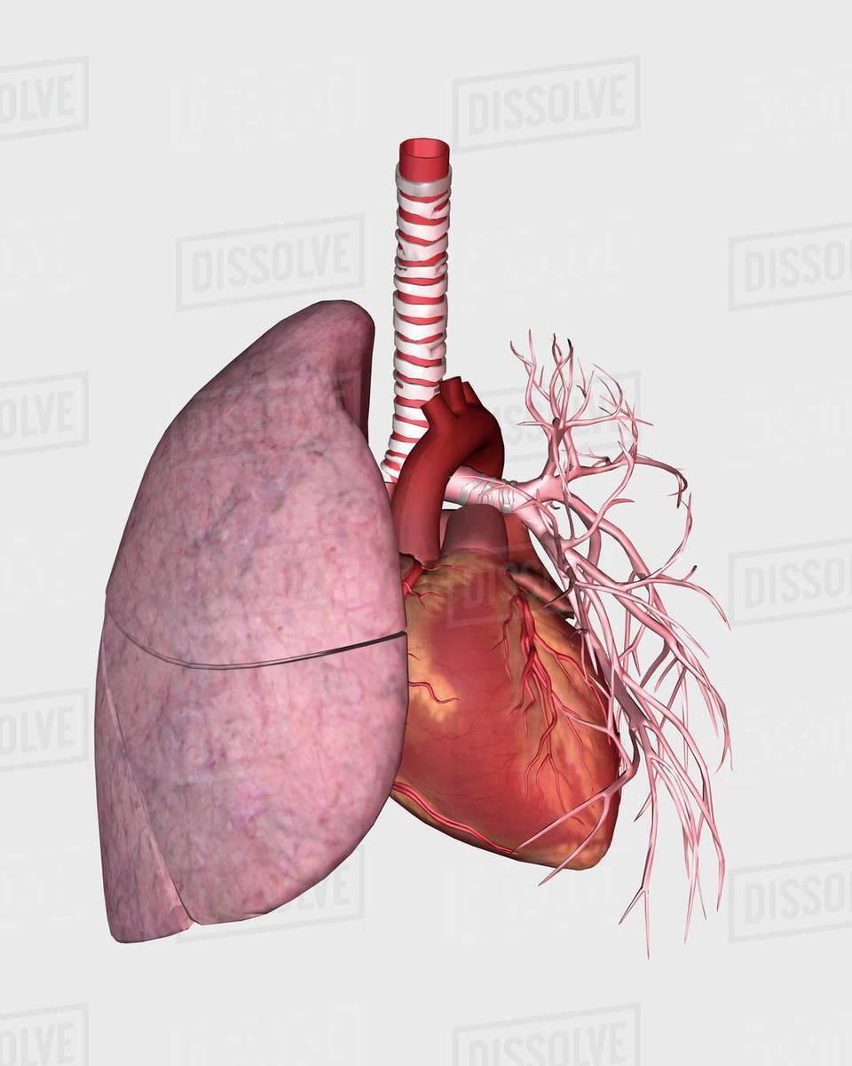 Abdominal quadrants with internal organs and rib cage. - Stock Photo ...
