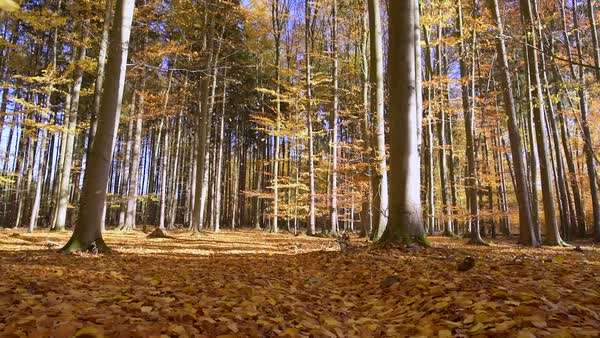 Wind blowing golden leaves in autumn forest Royalty-free stock video