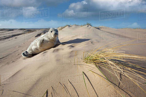 Grey seal (Halichoerus grypus) pup resting on sand dune, Norfolk Beach, UK January Rights-managed stock photo