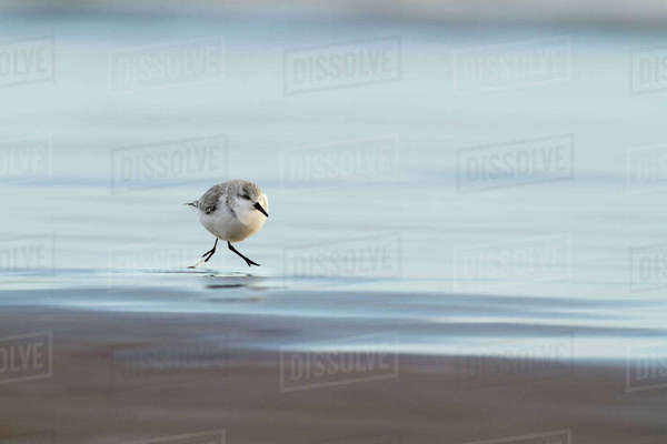 Sanderling (Calidris alba) along shorline, Lincolnshire, UK December Rights-managed stock photo