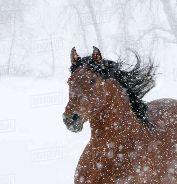 Andulasian bay stallion running in snow storm, Longmont, Colorado, USA Rights-managed stock photo