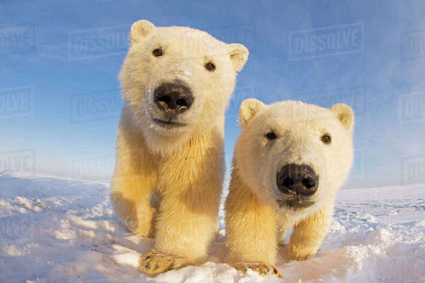 Two curious young Polar bears (Ursus maritimus), Barter Island, off the 1002 area of the Arctic National Wildlife Refuge, North Slope of the Brooks Range, Alaska, October 2011 Rights-managed stock photo