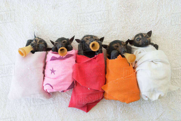 Spectacled flying fox (Pteropus conspicillatus) babies or bubs wrapped in cloth and teats in mouths ready for feeding in the nursery at Tolga Bat Hospital, North Queensland, Australia, November 2012 Rights-managed stock photo