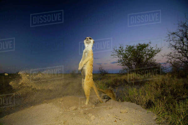 Meerkat (Suricata suricatta) standing and keeping watch while another excavates a burrow in soft sand before disappearing underground for the night. Makgadikgadi Pans, Botswana, April. Rights-managed stock photo
