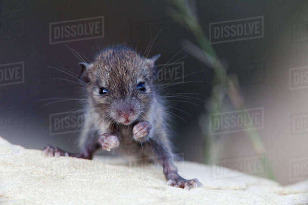 Black Rat (Rattus rattus) young. Introduced species on Maria Magdalena Island, Marias Islands Biosphere Reserve, Gulf of California, Mexico, September. Rights-managed stock photo