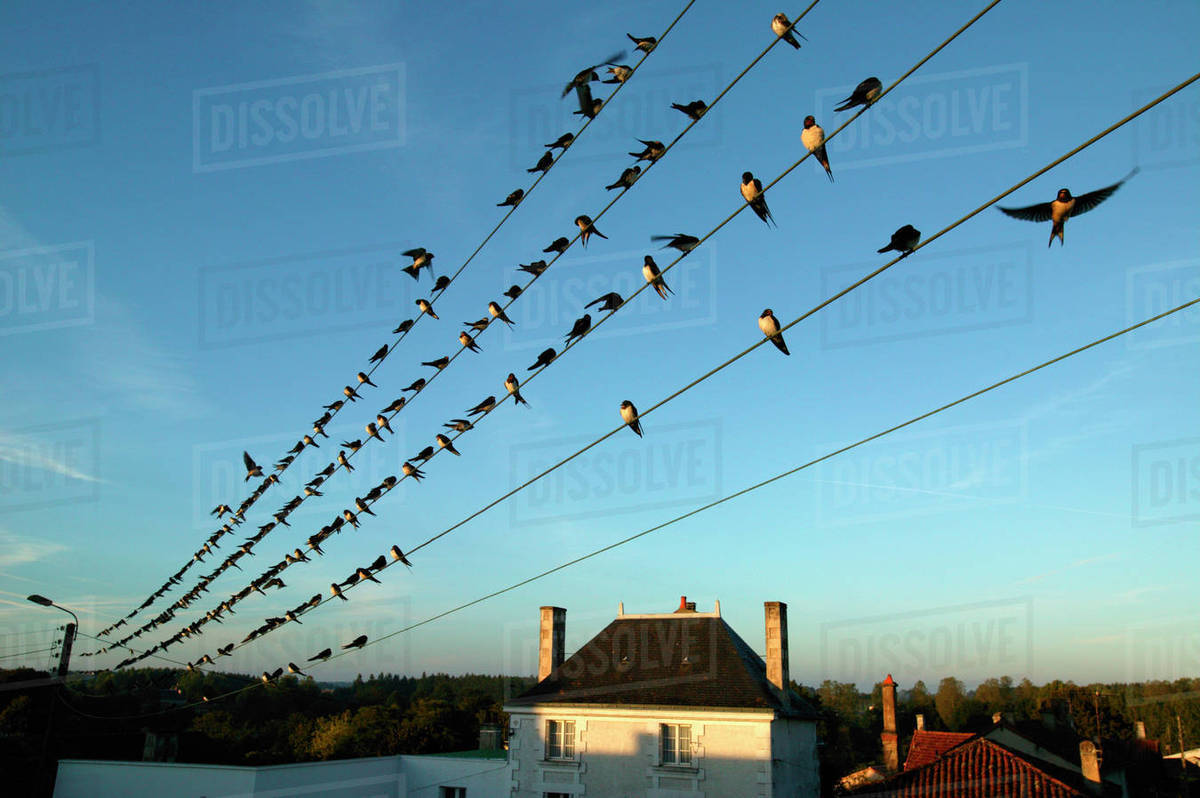 Flock of Barn swallows (Hirundo rustica) perched on power lines ...