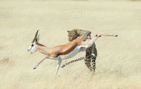 Leopard (Panthera pardus) hunting Springbok (Antidorcas marsupialis) Etosha, Namibia, Finalist in the Mammals Category of the Wildlife Photographer of the Year 2015.  Rights-managed stock photo