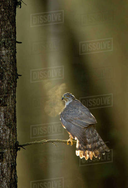 Goshawk (Accipiter gentilis) perched in tree backlit at dawn, Czech Republic, November. Rights-managed stock photo