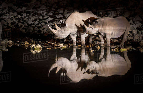 Black rhinoceros (Diceros bicornis) mother and calf having a drink at night with perfect reflections. Etosha National Park, Namibia. Taken with infrared camera. Rights-managed stock photo