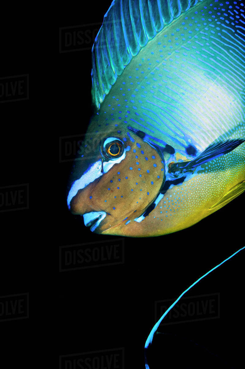 Bignose Unicornfish Naso Vlamingii Profile Of Male Displaying The