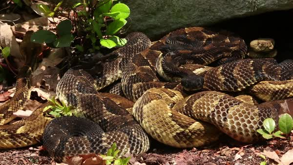 Western Diamondback Rattlesnake Crotalus Atrox Sonoran Desert